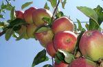 Ljetne jabuke iz Agromeđimurja d.d.